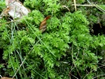 Harts-tongue Thyme-moss (Plagiomnium undulatum)